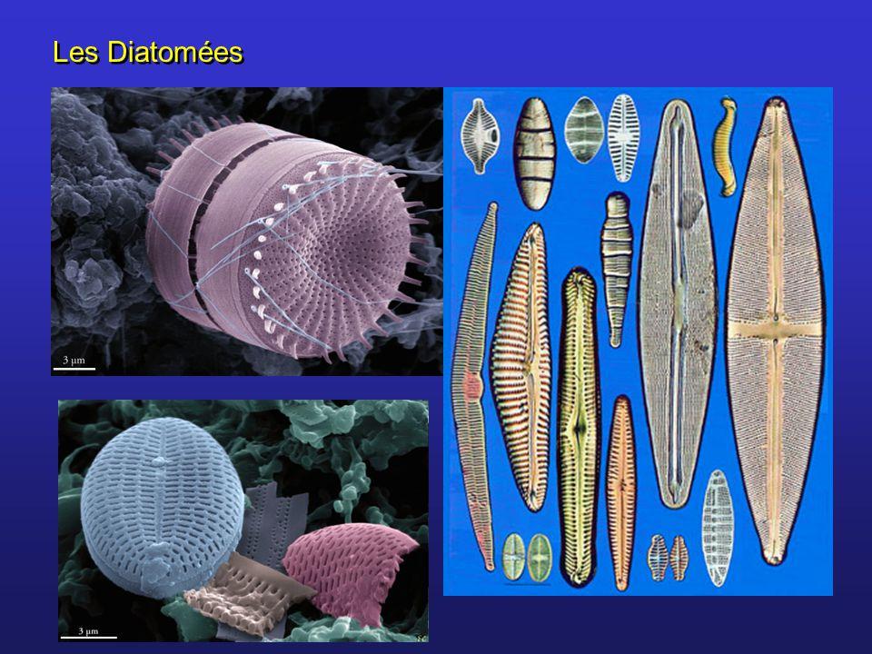 Les Diatomées