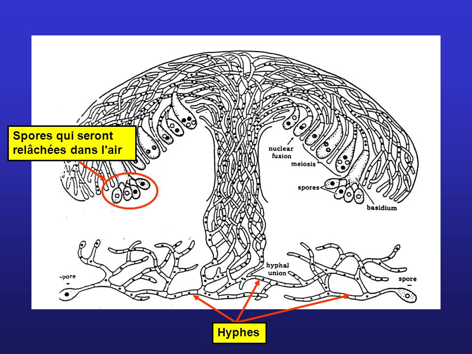 Spores qui seront relâchées dans l air