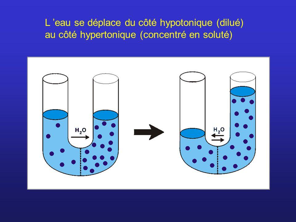 L 'eau se déplace du côté hypotonique (dilué) au côté hypertonique (concentré en soluté)