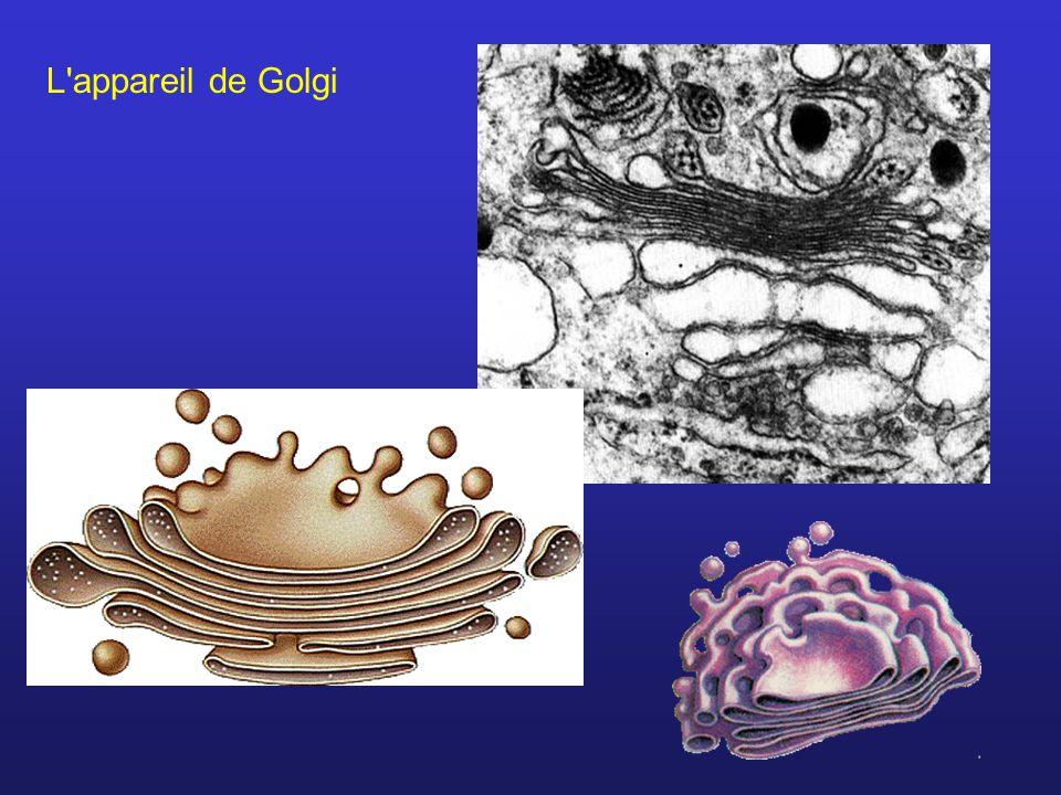 L appareil de Golgi