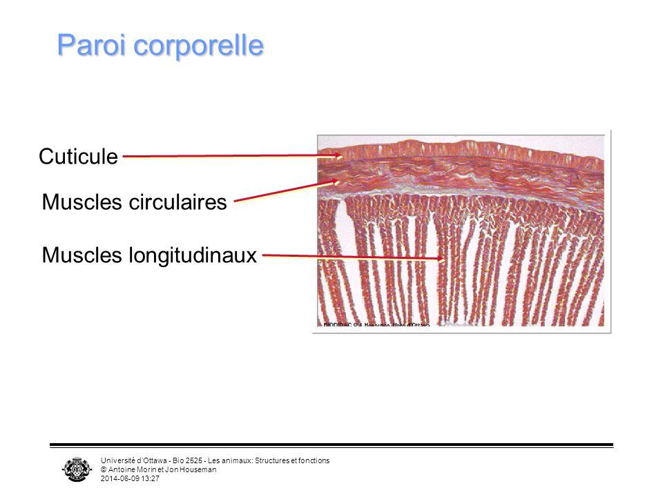 Paroi corporelle Cuticule Muscles circulaires Muscles longitudinaux
