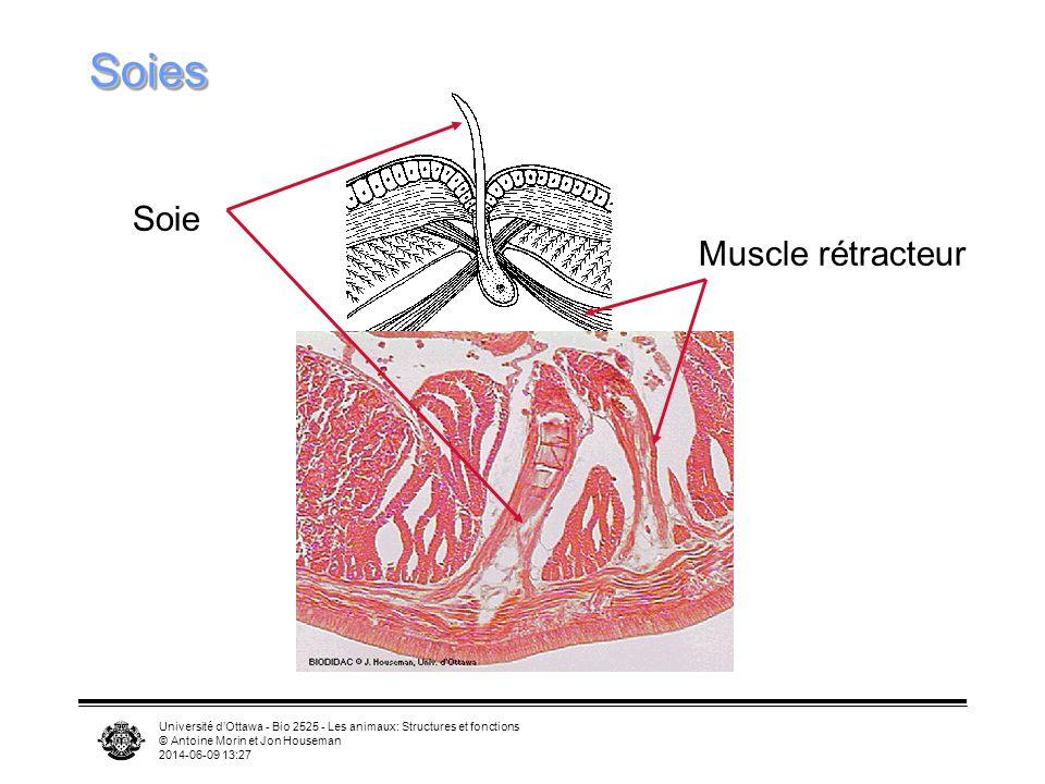 Soies Soie Muscle rétracteur