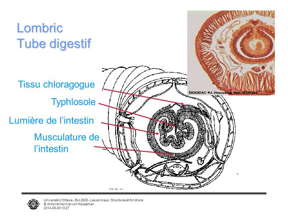 Lombric Tube digestif Tissu chloragogue Typhlosole