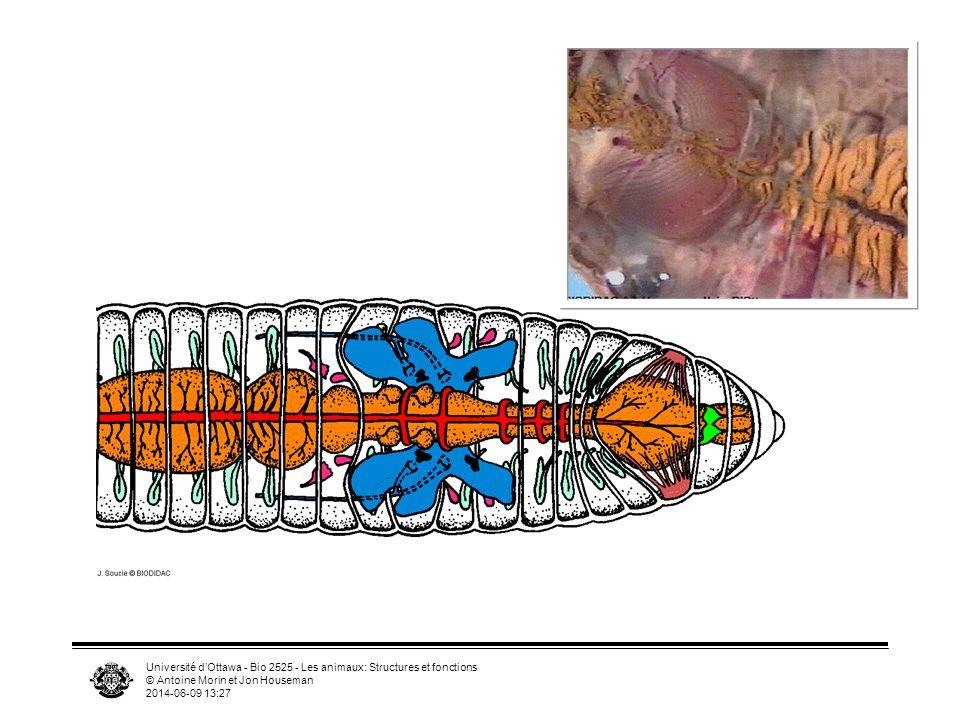 Université d'Ottawa - Bio 2525 - Les animaux: Structures et fonctions