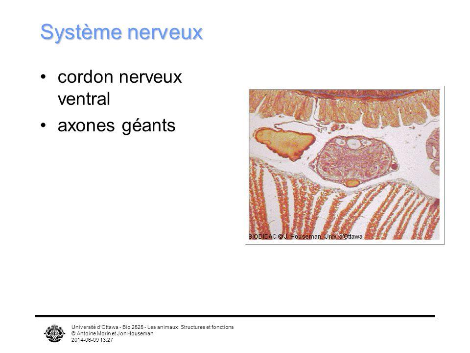 Système nerveux cordon nerveux ventral axones géants