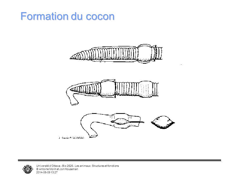 Formation du cocon Université d'Ottawa - Bio 2525 - Les animaux: Structures et fonctions. © Antoine Morin et Jon Houseman.