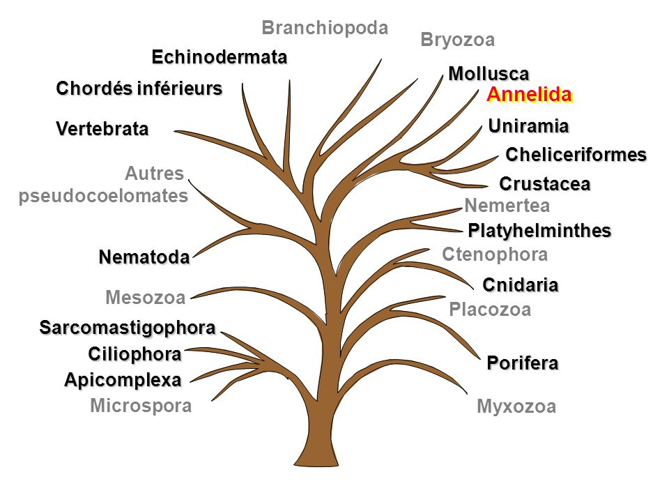 Annelida Branchiopoda Bryozoa Echinodermata Mollusca