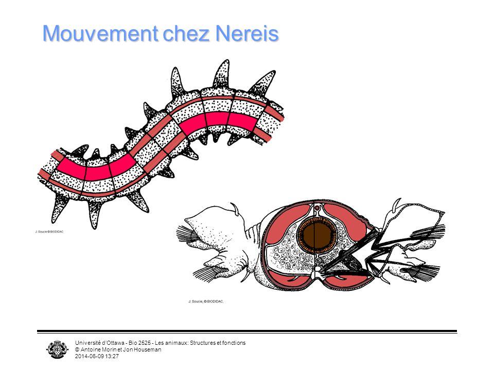 Mouvement chez Nereis Université d'Ottawa - Bio 2525 - Les animaux: Structures et fonctions. © Antoine Morin et Jon Houseman.