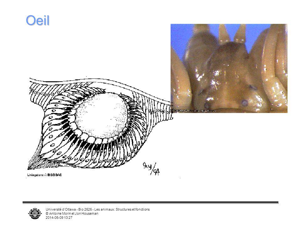 Oeil Université d'Ottawa - Bio 2525 - Les animaux: Structures et fonctions. © Antoine Morin et Jon Houseman.