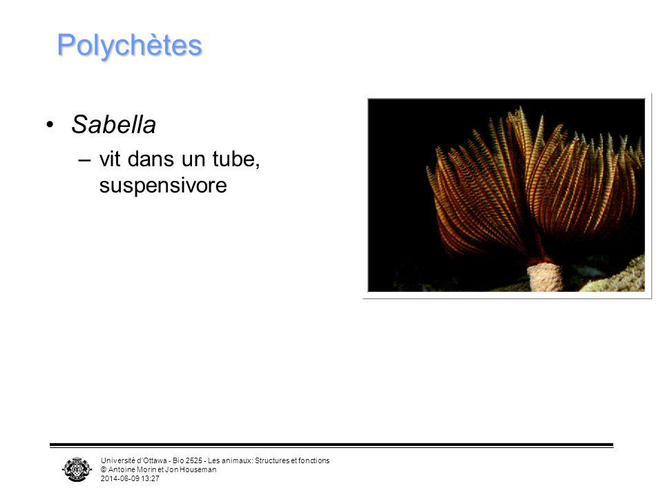 Polychètes Sabella vit dans un tube, suspensivore