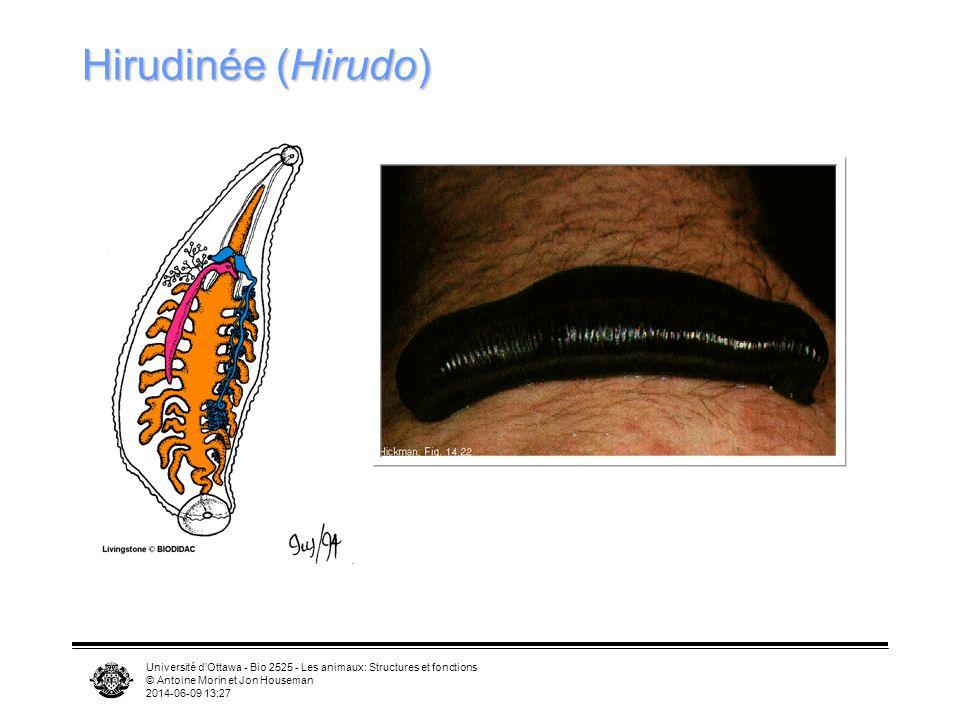 Hirudinée (Hirudo) Université d'Ottawa - Bio 2525 - Les animaux: Structures et fonctions. © Antoine Morin et Jon Houseman.