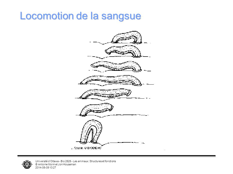 Locomotion de la sangsue
