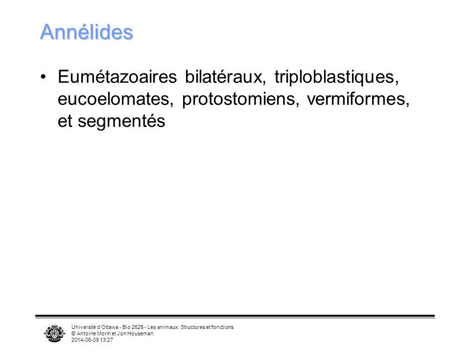 Annélides Eumétazoaires bilatéraux, triploblastiques, eucoelomates, protostomiens, vermiformes, et segmentés.