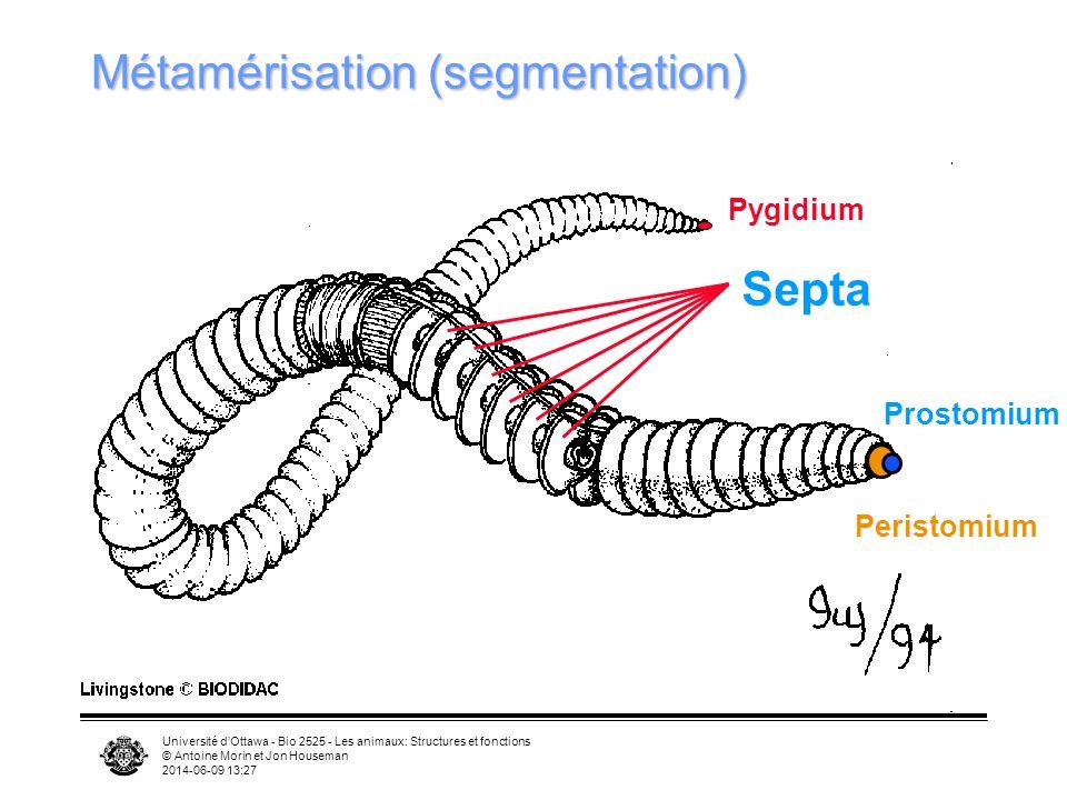 Métamérisation (segmentation)