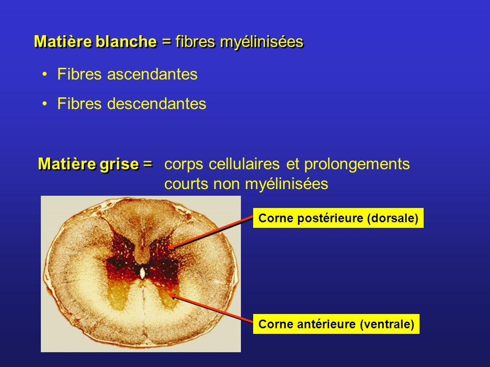 Matière blanche = fibres myélinisées
