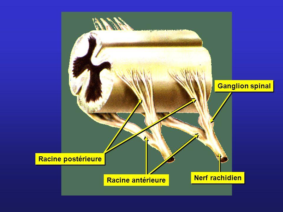 Ganglion spinal Racine postérieure Racine antérieure Nerf rachidien