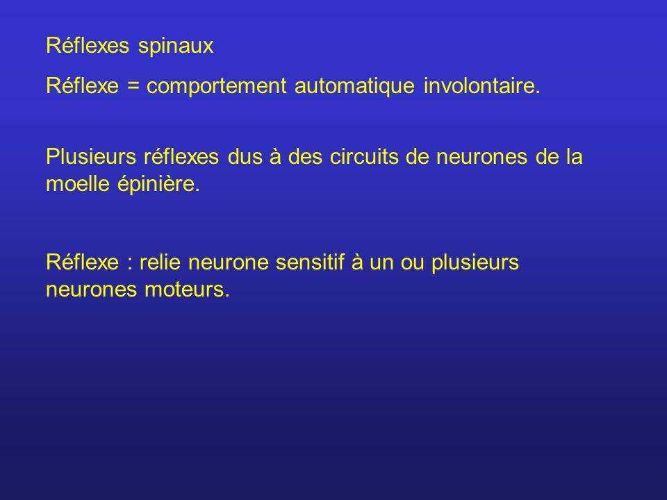 Réflexes spinaux Réflexe = comportement automatique involontaire. Plusieurs réflexes dus à des circuits de neurones de la moelle épinière.