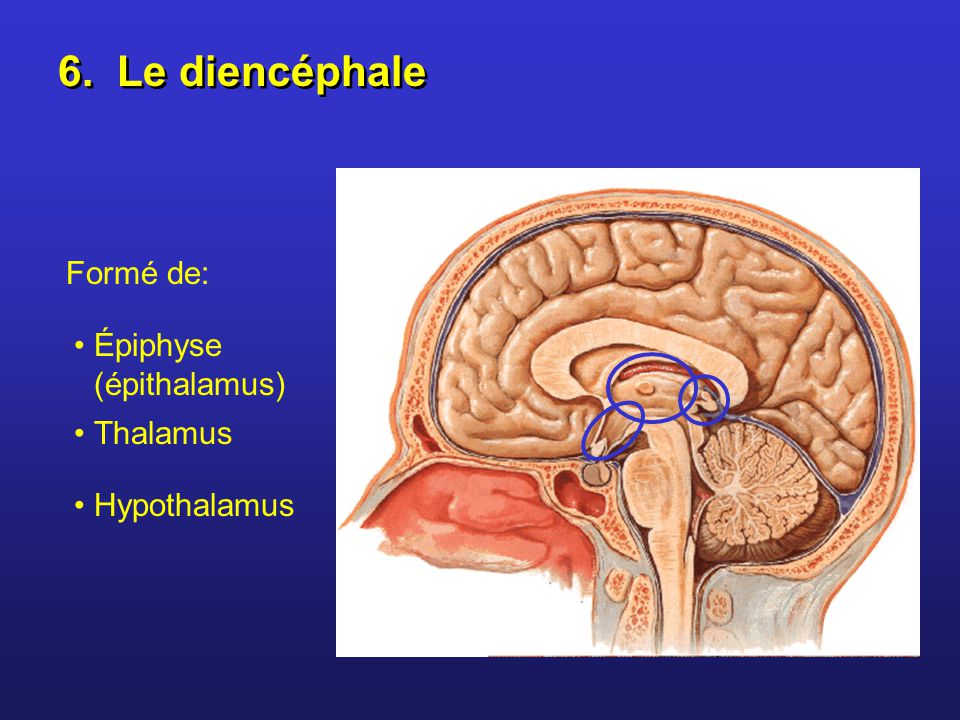 6. Le diencéphale Formé de: Épiphyse (épithalamus) Thalamus