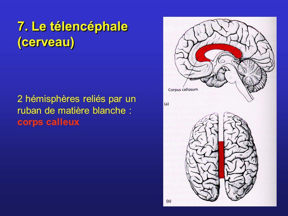 7. Le télencéphale (cerveau)