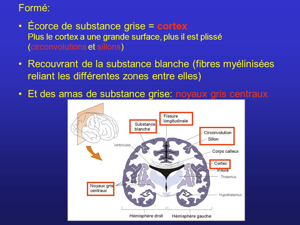 Formé: Écorce de substance grise = cortex Plus le cortex a une grande surface, plus il est plissé (circonvolutions et sillons)