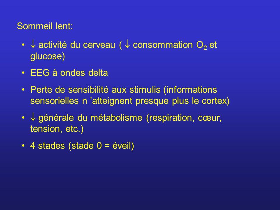 Sommeil lent:  activité du cerveau (  consommation O2 et glucose) EEG à ondes delta.