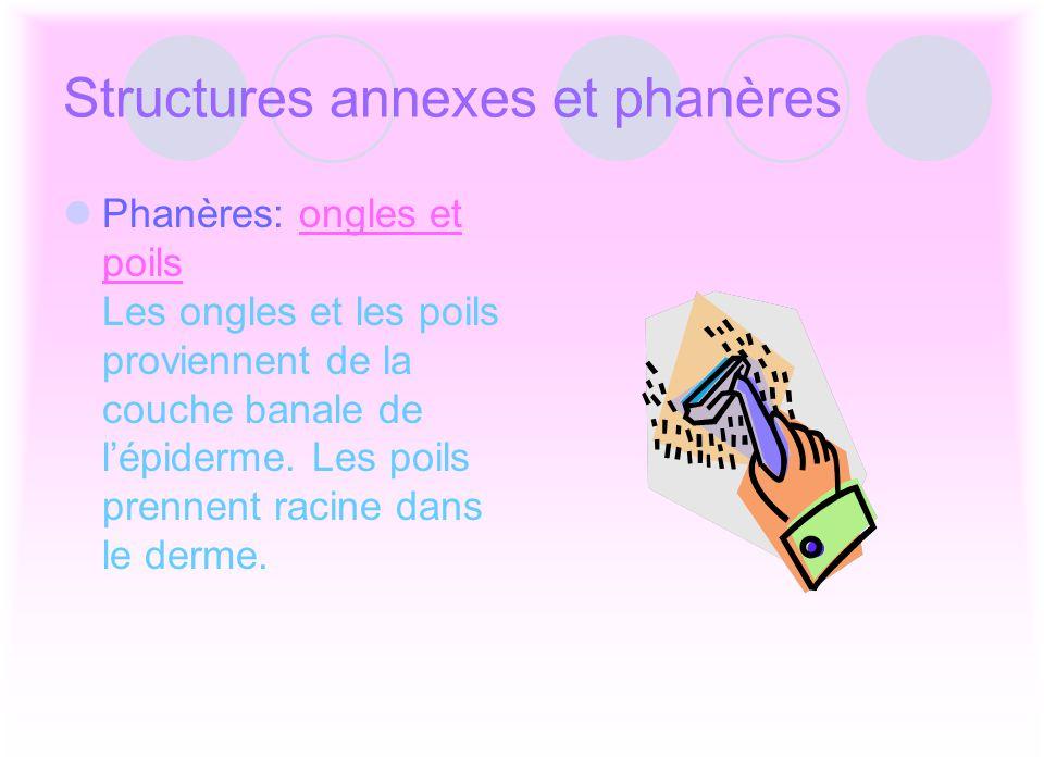 Structures annexes et phanères