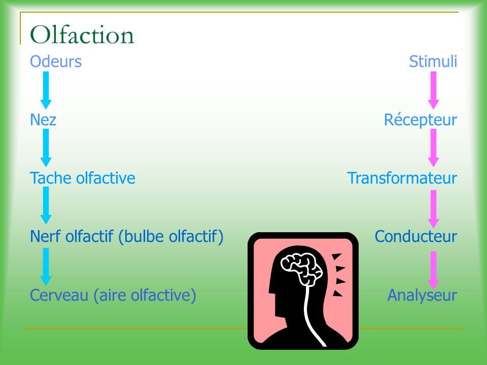 Olfaction Odeurs Nez Tache olfactive Nerf olfactif (bulbe olfactif)