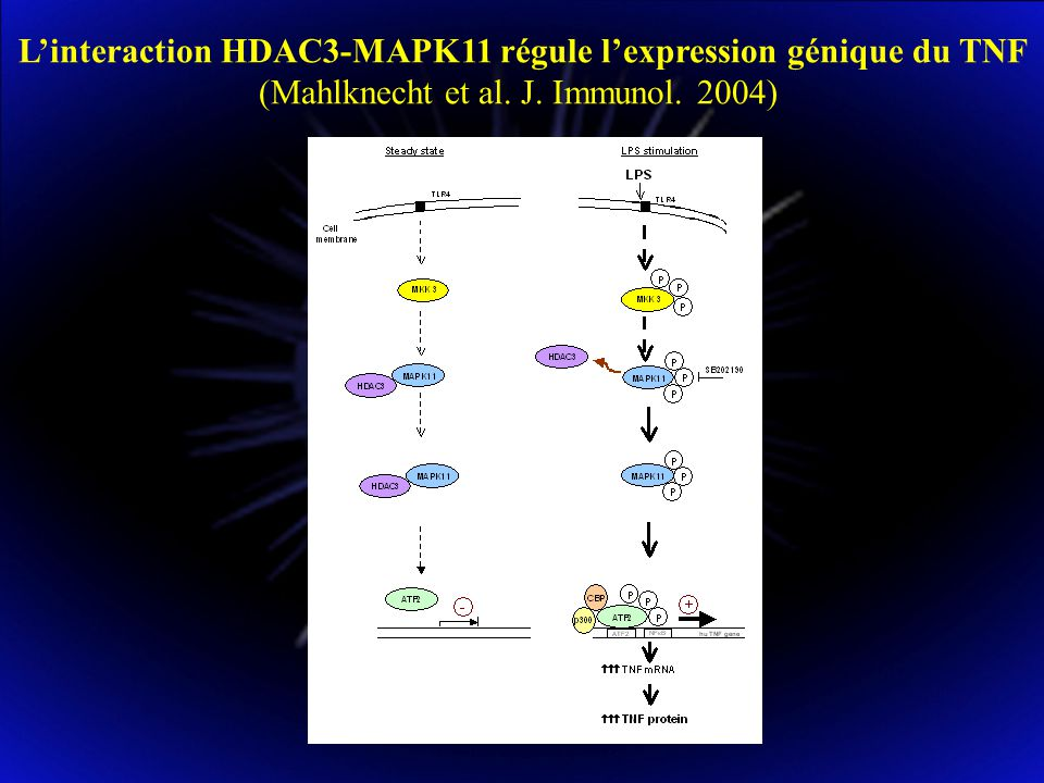 L'interaction HDAC3-MAPK11 régule l'expression génique du TNF