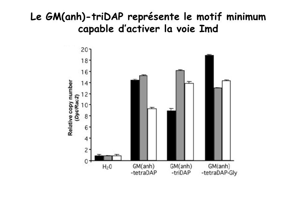 Le GM(anh)-triDAP représente le motif minimum capable d'activer la voie Imd