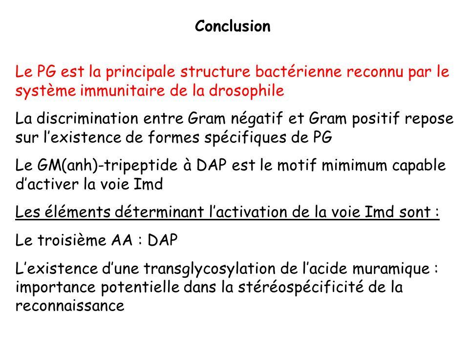 Conclusion Le PG est la principale structure bactérienne reconnu par le système immunitaire de la drosophile.