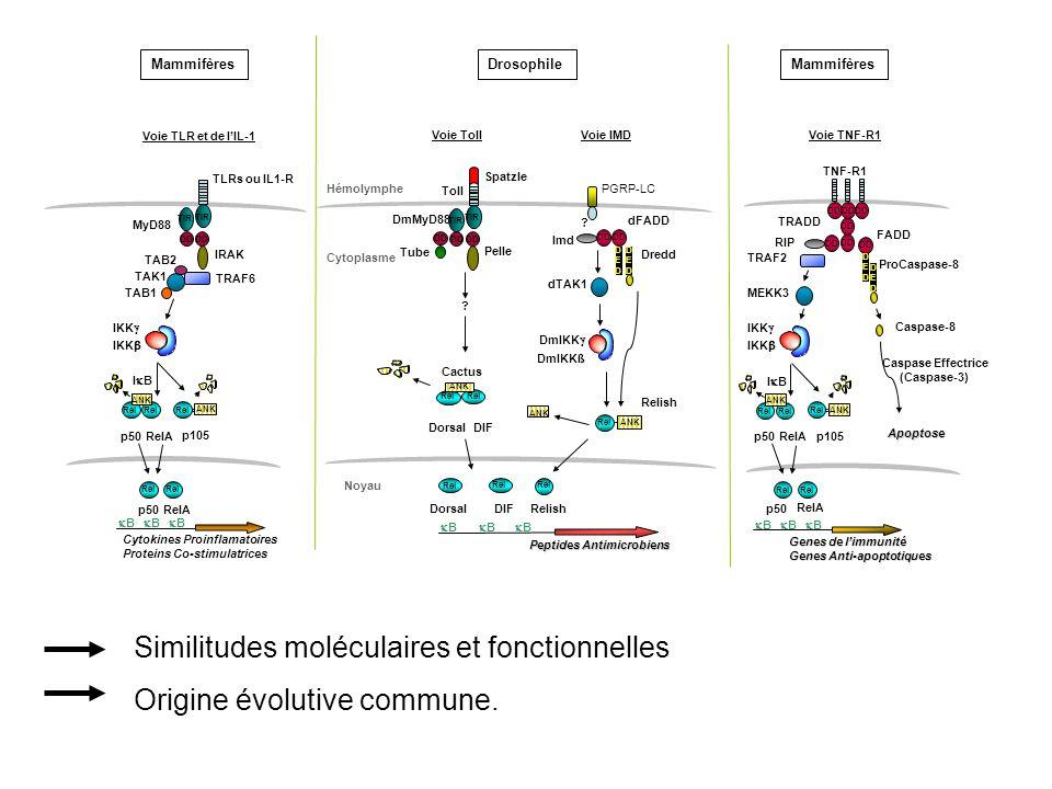 Similitudes moléculaires et fonctionnelles Origine évolutive commune.