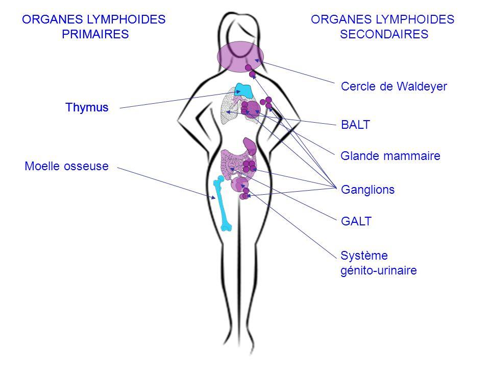ORGANES LYMPHOIDES PRIMAIRES. SECONDAIRES. Thymus. Moelle osseuse. Cercle de Waldeyer. Ganglions.