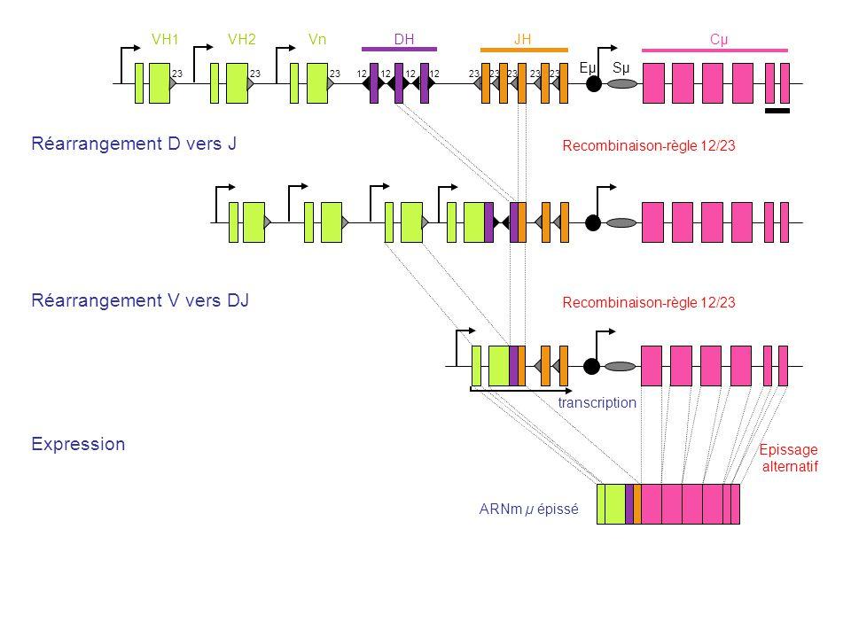 Réarrangement V vers DJ Réarrangement D vers J