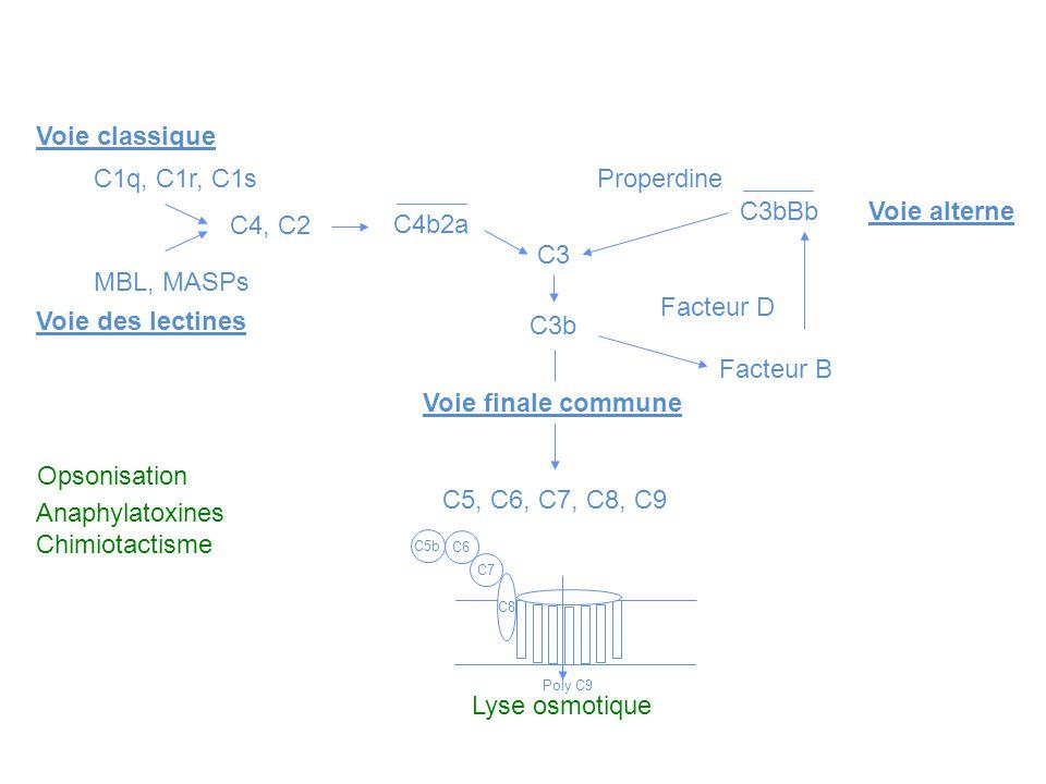 Voie classique C1q, C1r, C1s MBL, MASPs Voie des lectines C4, C2 C4b2a