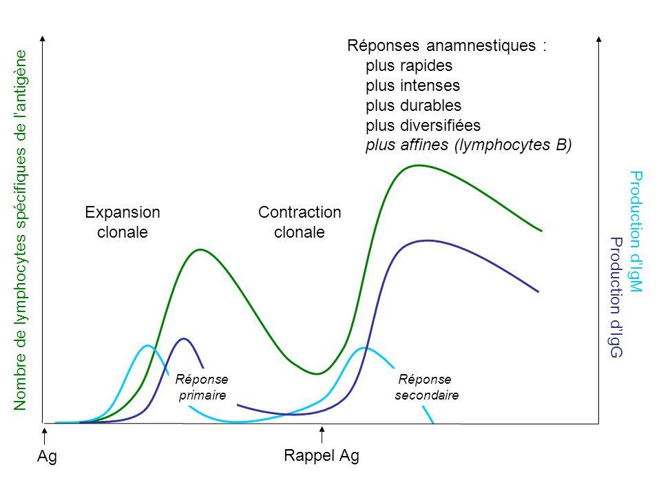 Nombre de lymphocytes spécifiques de l'antigène