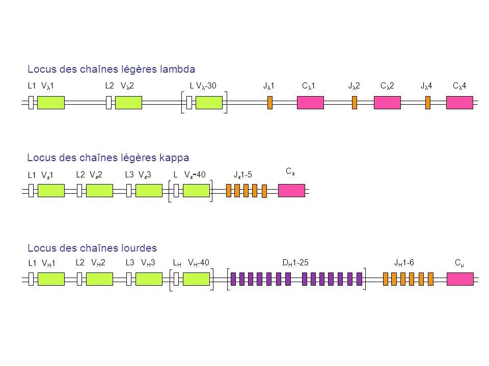 Locus des chaînes légères lambda