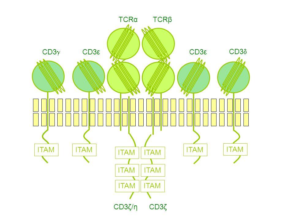 CD3g CD3ε CD3ζ/η CD3ζ TCRα TCRβ ITAM CD3d