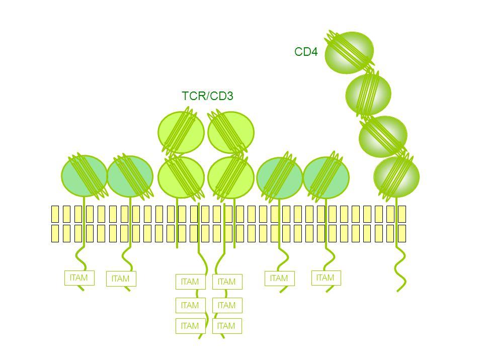 ITAM CD4 TCR/CD3
