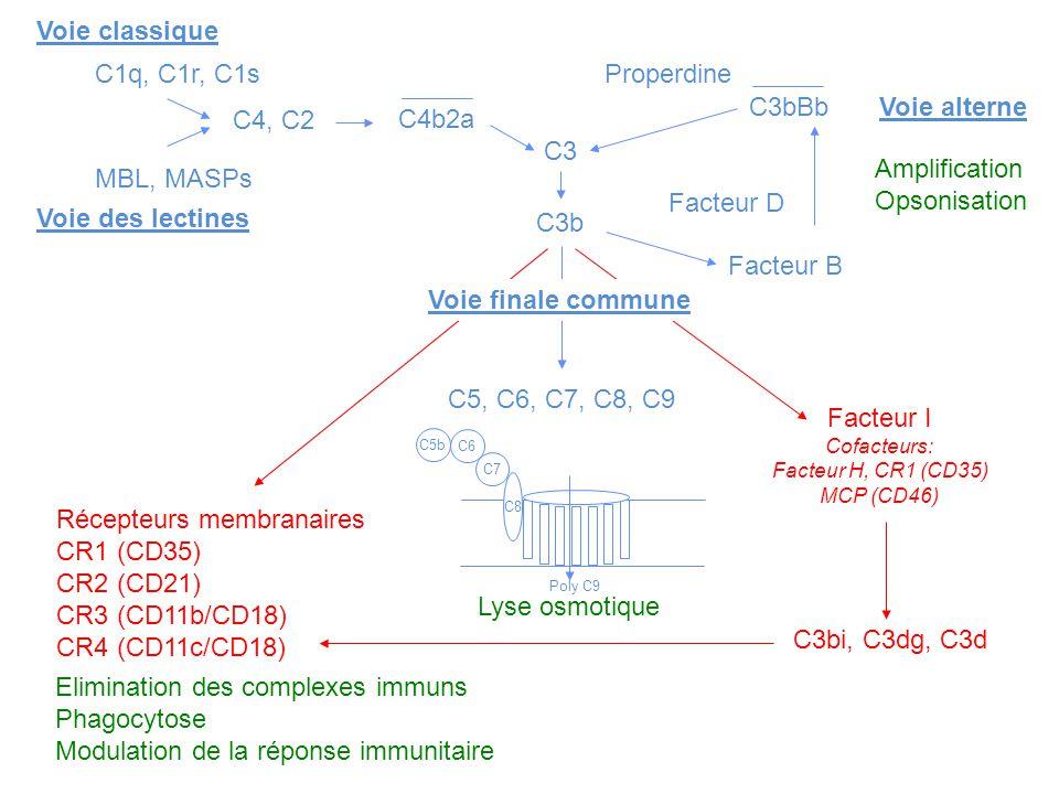 Récepteurs membranaires CR1 (CD35) CR2 (CD21) CR3 (CD11b/CD18)