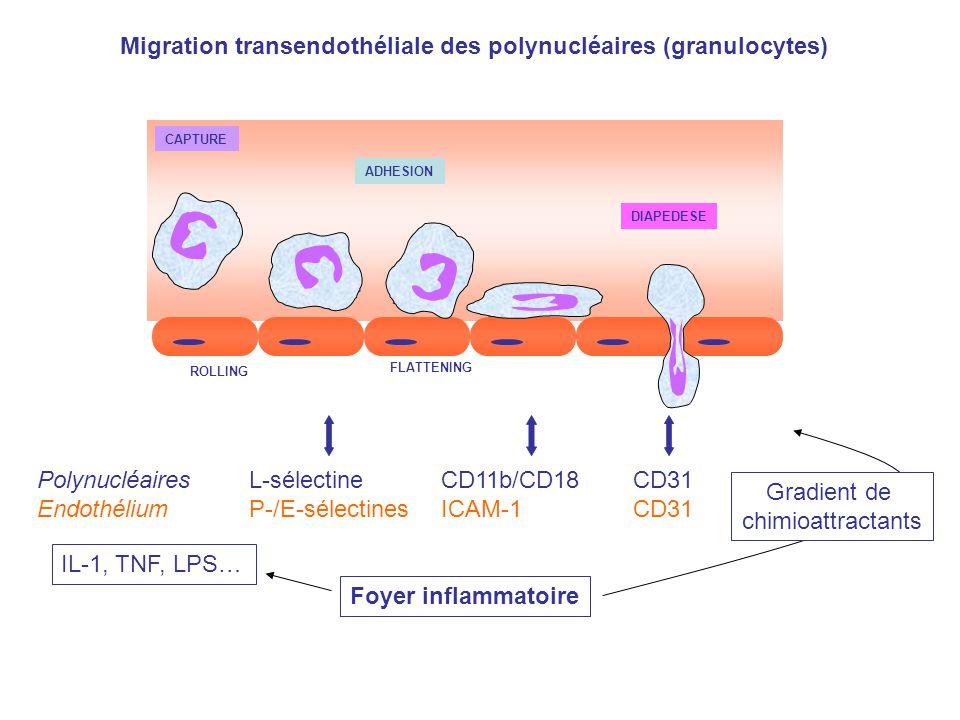 Migration transendothéliale des polynucléaires (granulocytes)