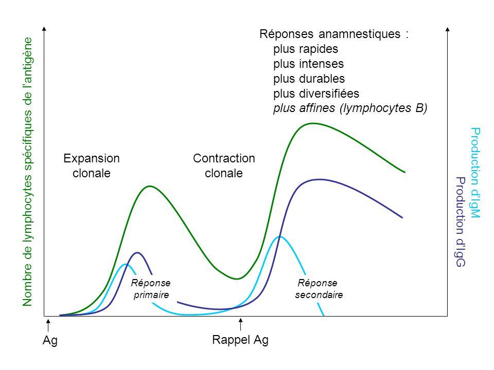 Réponses anamnestiques : plus rapides plus intenses plus durables