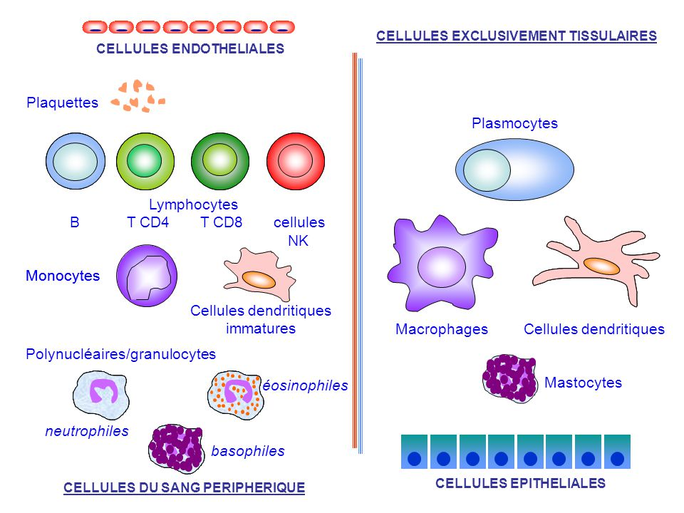 Cellules dendritiques immatures