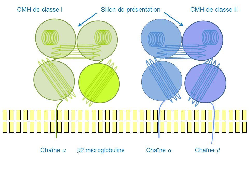 CMH de classe I Sillon de présentation. CMH de classe II. Chaîne a. b2 microglobuline. Chaîne a.