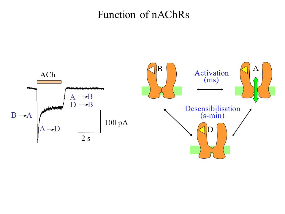Function of nAChRs B A ACh Activation (ms) Desensibilisation (s-min)