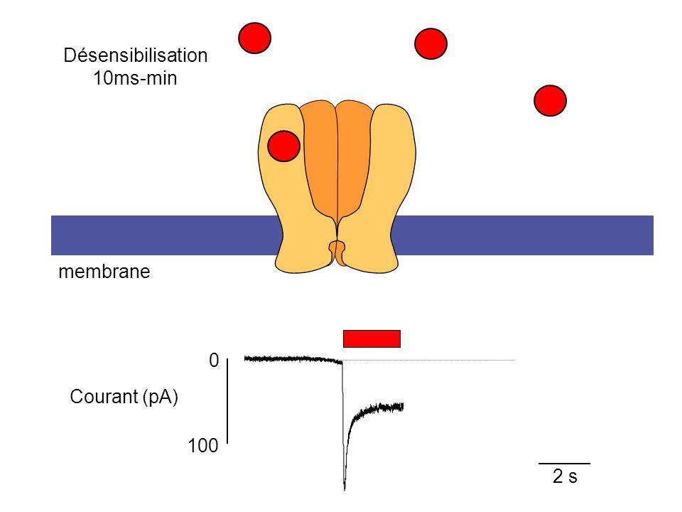 Désensibilisation 10ms-min membrane Courant (pA) 100 2 s