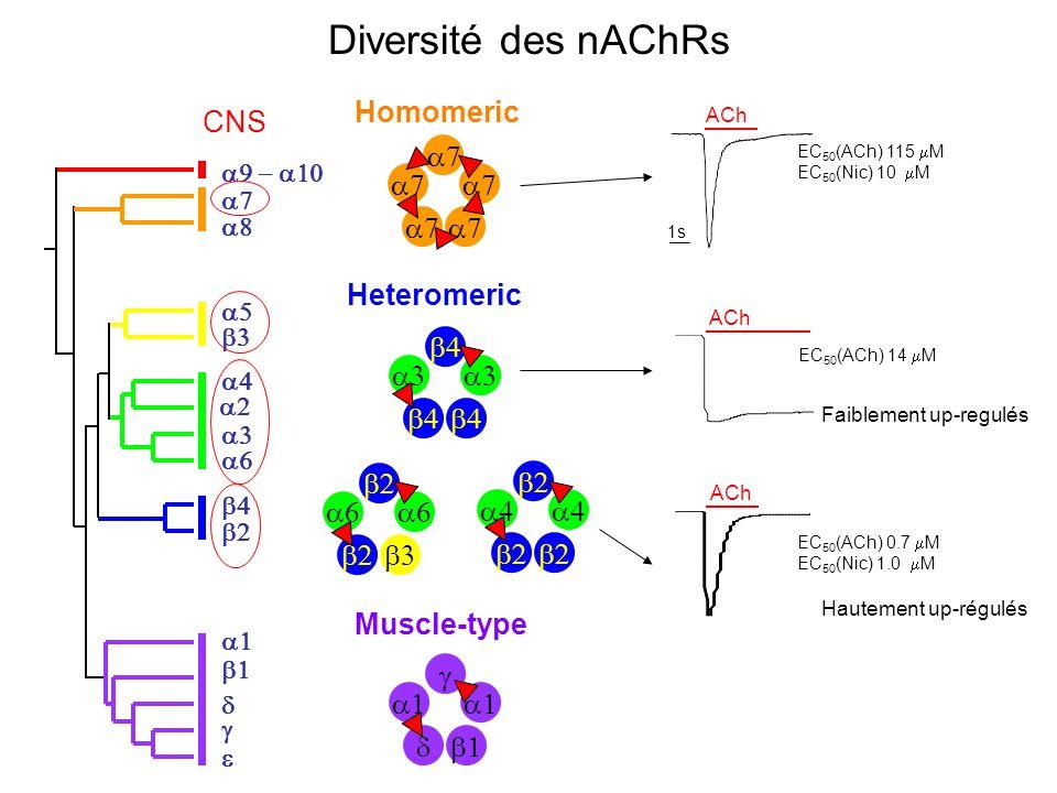 Diversité des nAChRs a7 Homomeric   Heteromeric g a1 d b1