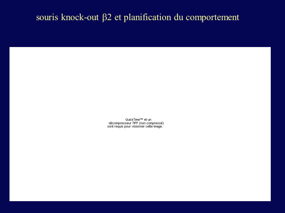 souris knock-out b2 et planification du comportement