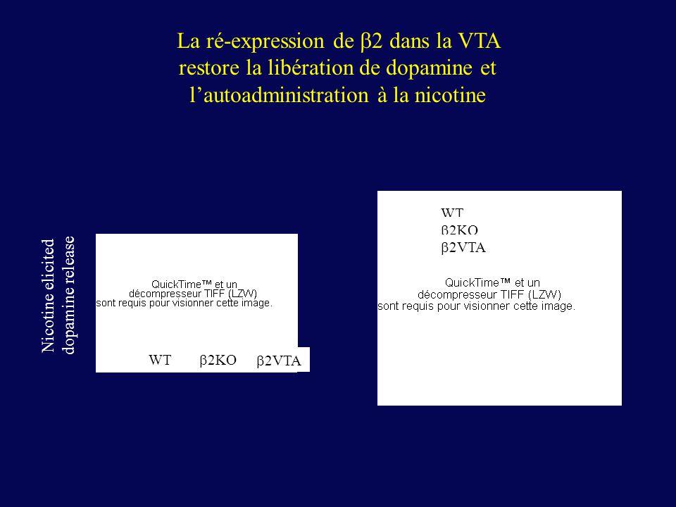 La ré-expression de b2 dans la VTA restore la libération de dopamine et l'autoadministration à la nicotine