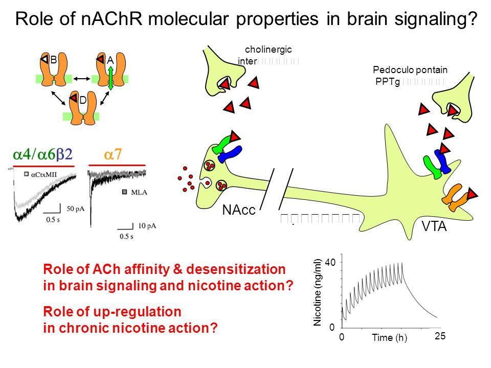 Role of nAChR molecular properties in brain signaling