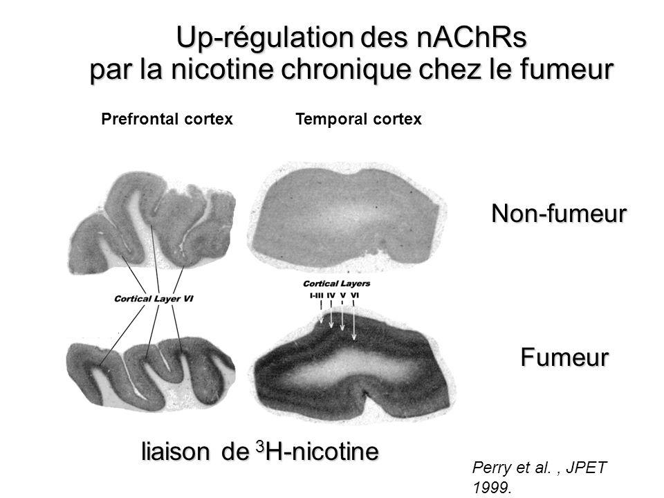 Up-régulation des nAChRs par la nicotine chronique chez le fumeur